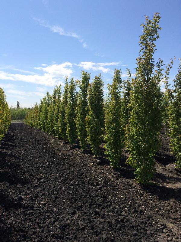Cedar Landscape Edging