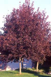 Schubert Chokecherry - 2 inch