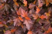 Shrub-Coppertina-Ninebark-180x120