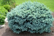 Shrub-Globe-Blue-Spruce-180x120