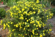 Shrub-Goldfinger-Potentilla-180x120
