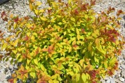 Shrub-Goldflame-Spirea-180x120